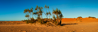 Pandanus Palms at Cape Leveque