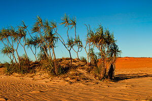 Pandanus Palms at Cape Leveque 1