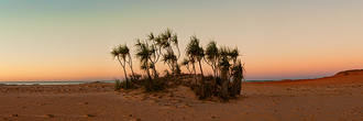 Pandanus Palms in Twilight at Cape Leveque